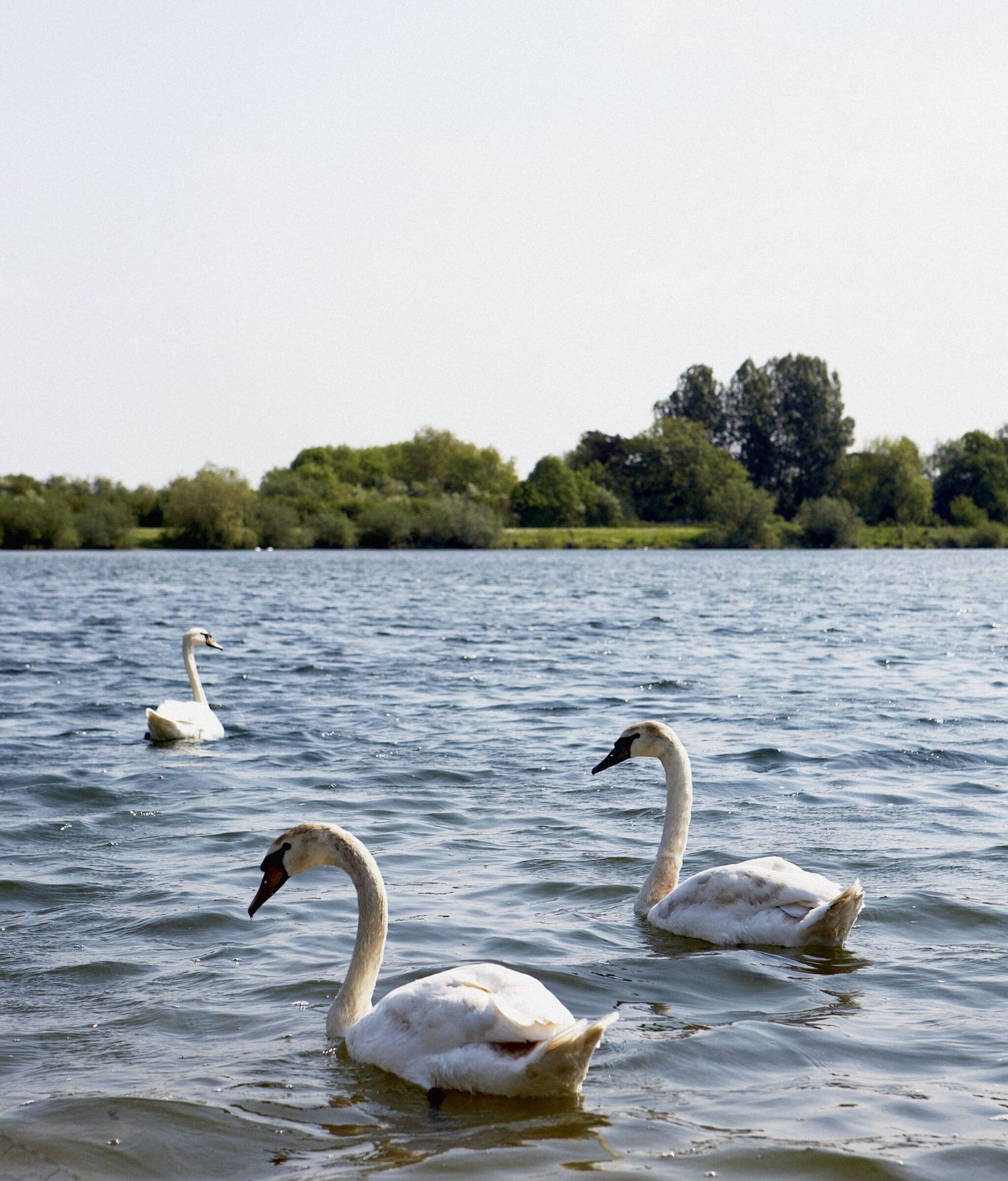 Lower Mill Estate 22 Swans on Somerford Lagoon