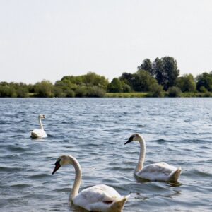Lower Mill Estate 22 Swans on Somerford Lagoon