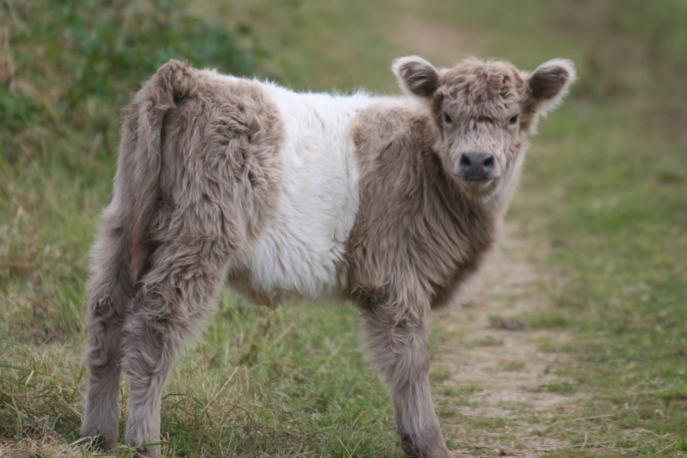 Lower Mill Estate 23 Belted Galloway Calf