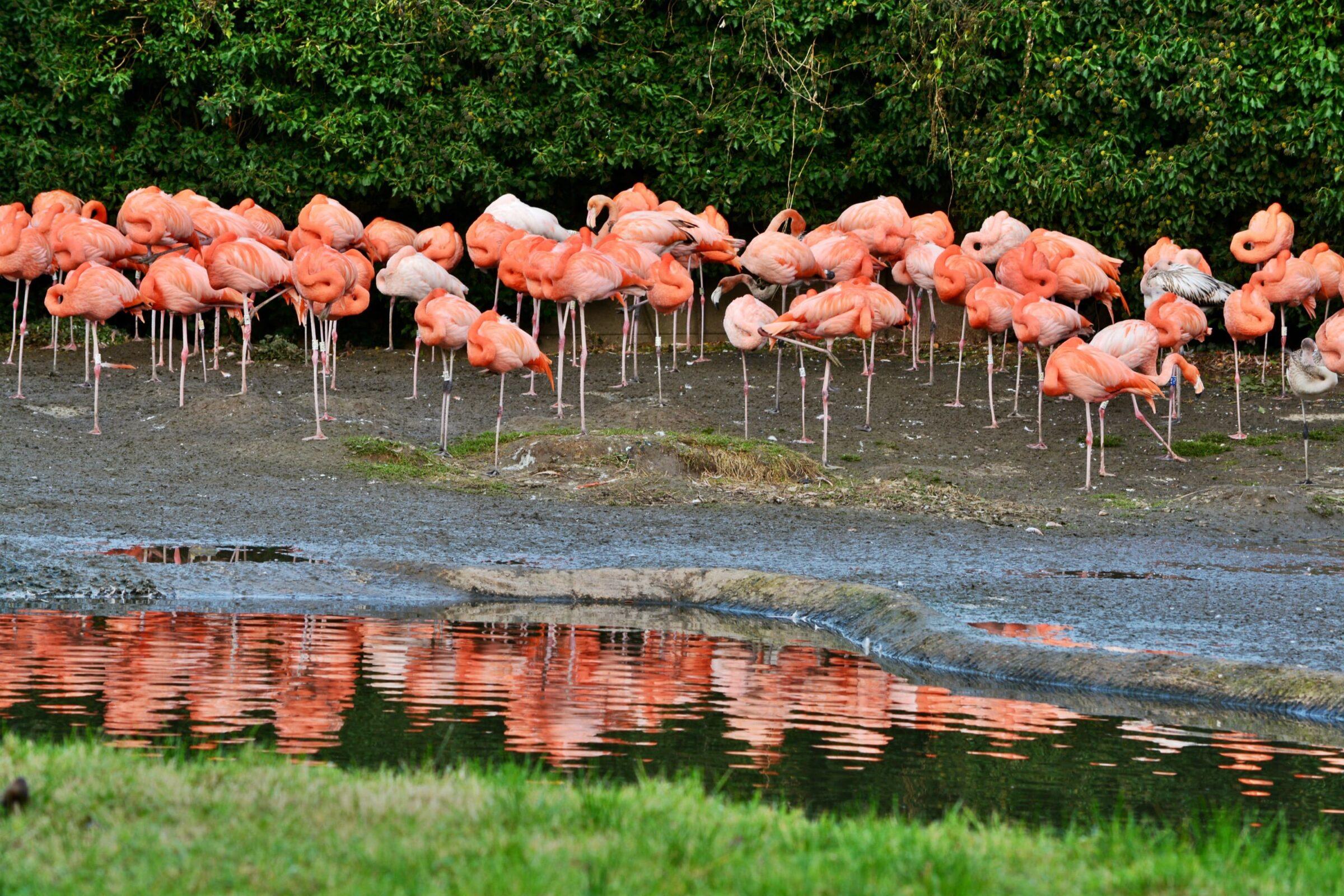 Flamingos at Slimbridge